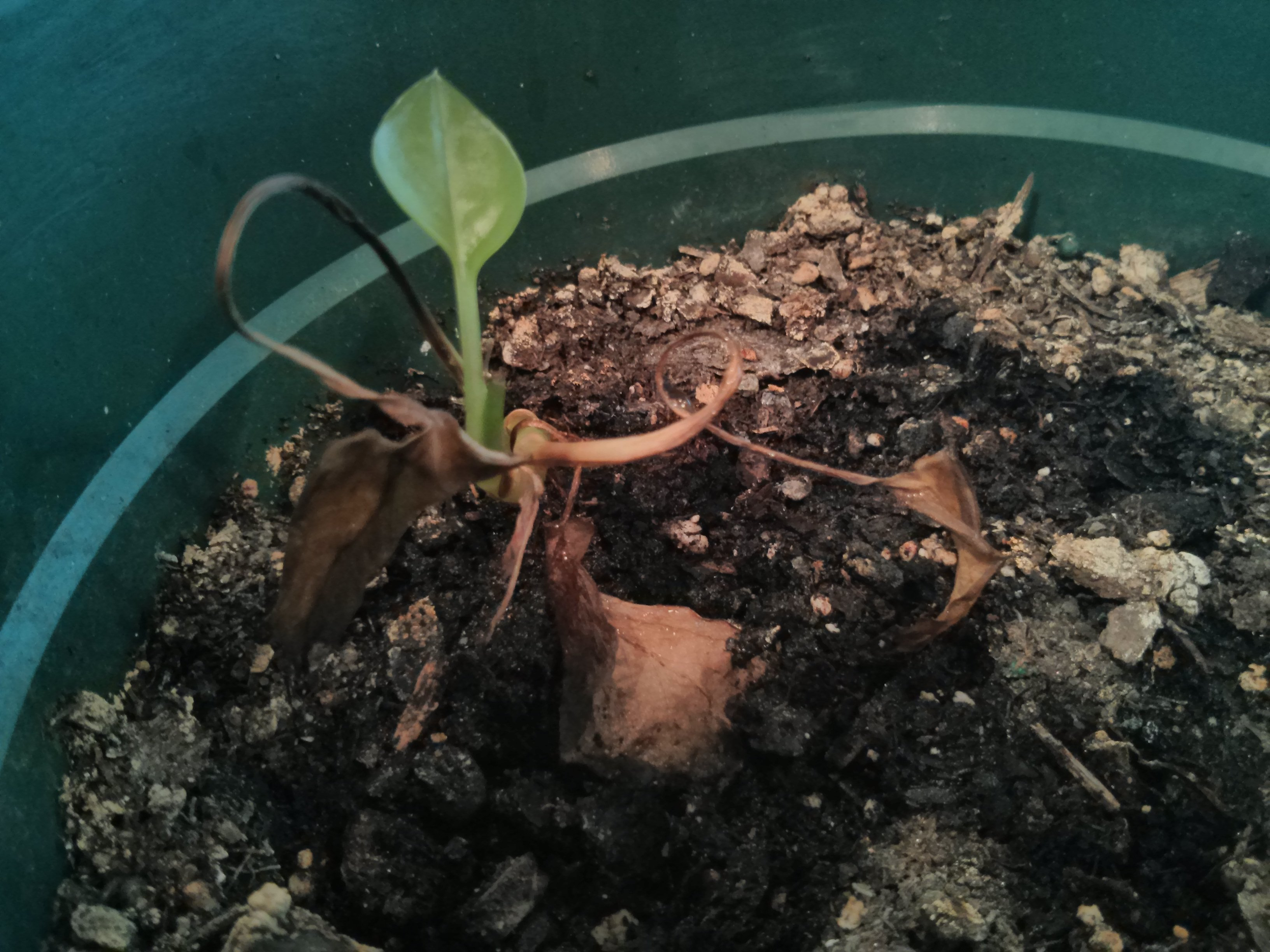 A tiny green sprout with a single leaf pokes up out of an otherwise dead houseplant.