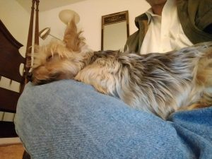 A yorkie rests on a jean clad leg of a person